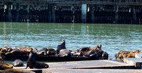 Sea Lions, noisier visitors at Pier 39, San Francisco