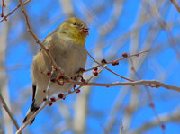 Possibly a yellow finch, 2017